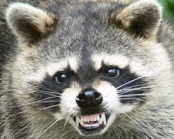 How To Get Rid Of Raccoons In Backyard The Truth About Raccoons Haven Kimmel U0027s Blog