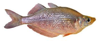 rainbow fish stock photo image 40611190