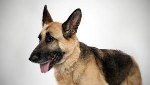 australian shepherd or german shepherd german shepherd dog breed selector animal planet
