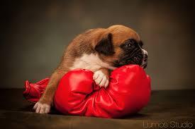 boxer dog in boxing gloves puppies archives lumos studio lumos studio