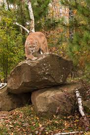 Alabama wild animals images Are mountain lions roaming alabama woods extension daily jpg