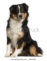 5 month old mini australian shepherd australian shepherd stock images royalty free images u0026 vectors