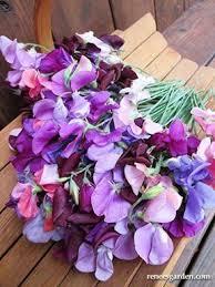 Sweet Pea Images Flower - perfume delight u0027 heirloom sweet peas renee u0027s garden seeds