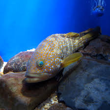 Hong Kong grouper