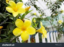 yellow jasmine flower garden stock photo 471665837 shutterstock