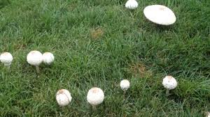 there are strange mushrooms popping out in our backyard youtube