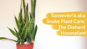 House Plant Sansevieria Aka Snake Plant Care The Diehard Houseplant Youtube