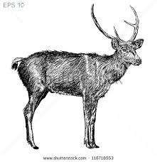 drawing deer stock images royalty free images u0026 vectors