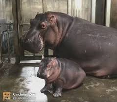 Baby Hippo Meme - baby hippo fiona and her mom 1 american idol the voice 2018