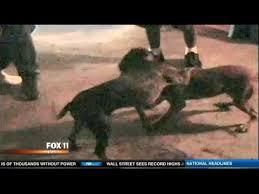 american pitbull terrier kingfish bloodline illegal animal fights rising in la u0026 pit bull fighting