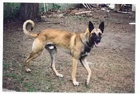 belgian shepherd x staffy flickriver photoset u0027cross mix hybrid designer dogs u0027 by hybridhappy
