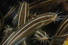 striped eel catfish facts photographs and video seaunseen