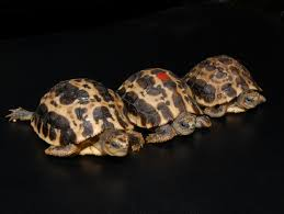 Ringed Map Turtle Malagasy Spider Tortoise For Sale From The Turtle Source
