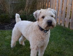 diesel soft coated wheaten terrier wheaten terrier pinterest