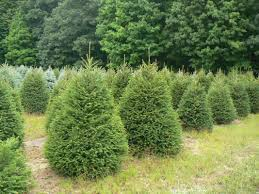wholesale christmas trees getty tree farms in northern michigan