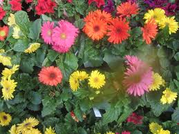 gerbera daisies gerbera daisies the smarter gardener