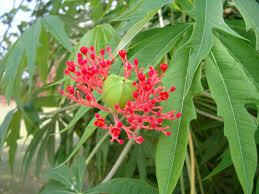Jatropha Multifida Images Useful Tropical Plants