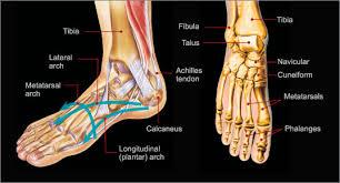 Foot Tendons Anatomy Foot U0026 Ankle Injuries Summit Orthopedic Specialistssummit