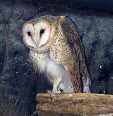 Scientific Name Of Barn Owl Barn Owl Whozoo