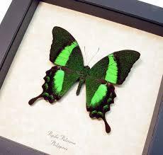 papilio palinurus metallic green swallowtail framed butterfly