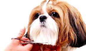 shih tzu haircuts shih tzu haircuts shih tzu temperament
