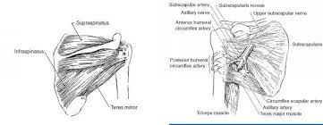 Innervation Of Supraspinatus Shoulder Anatomy Extremity Splinting Mitch Medical Healthcare