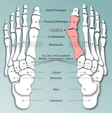 Foot Ligament Anatomy 10 Pictures And Images Medical Doctoral Accurate Detailed Foot