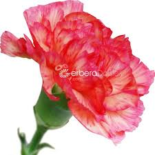 bulk carnations bulk flowers pink bicolor carnations