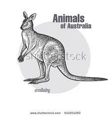wallaby kangaroo hand drawing animals australia stock vector