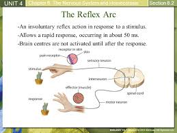 How Does A Reflex Arc Work In A Nervous System 8 2 Structures And Processes Of The Nervous System Ppt Video