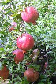 seedlings india ornamental pomegranate plant live plant flower and