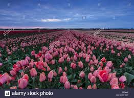 stormy sky during sunset above a pink and red tulip field in
