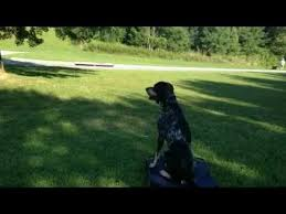 bluetick coonhound behavior dog reactive bluetick coonhound trained with off leash k9 training