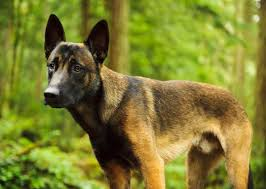 belgian shepherd malinois military a fascinating history of military dog breeds photo gallery