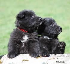 belgian sheepdog wolf mix pin by michelle pruitt on black wolves pinterest