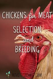 chickens for meat selection breeding make it grow it