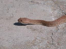 Snake Holes In Backyard Rattlesnakes In California