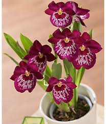 orchid plants 40 best orchid plants images on orchid plants plants