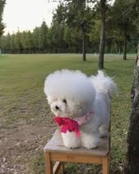 funny bichon frise quotes toy bichon frise for sale toy poodle cross bichon frise for sale