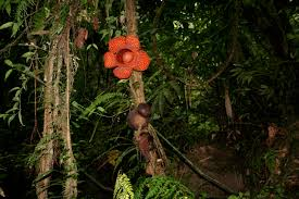 20 world largest flower rafflesia the largest flower in the