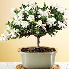 how to grow a gardenia bonsai bonsai tree care the ultimate