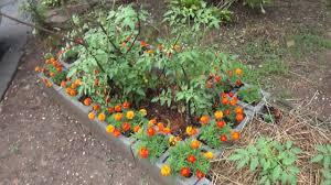 marigolds mycorrhiza u0026 tomatoes youtube