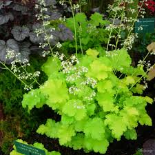 Pretty Plants by Striking Shades Of Lime Green Rufflied Foliage In Neat Mounds With