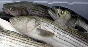 open season new measure to stop u0027stockpiling u0027 of striped bass