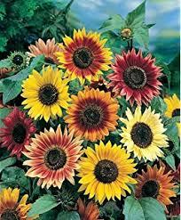 roll out flower garden roll out flowers sunflower garden seed flowering