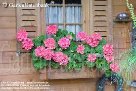geranien balkon bild geranien hängegeranien duftgeranien pelargonien