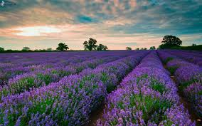 lavender jeep lavender field lavender pinterest lavender fields