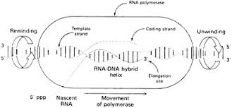 5 gene regulation gene control transcription factors and