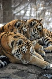 New York wild animals images 4595 best beautiful cats images big cats nature jpg