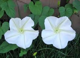 moon flowers gardensonline ipomoea alba